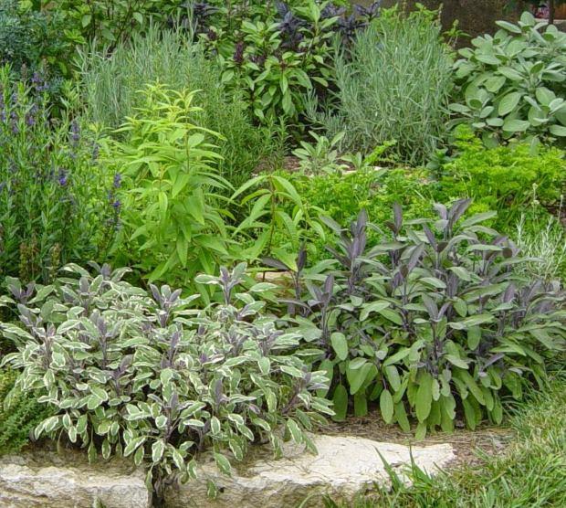 Sages-in-the-garden
