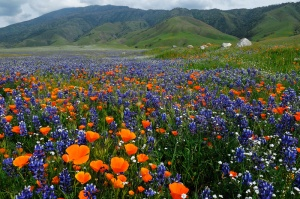 poppies-lupine